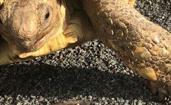 【亀日記】大きい亀の魅力をお伝えします【お散歩編】🍀~ゾウガメ・ヒョウモン・ケヅメを飼いたい方へ~